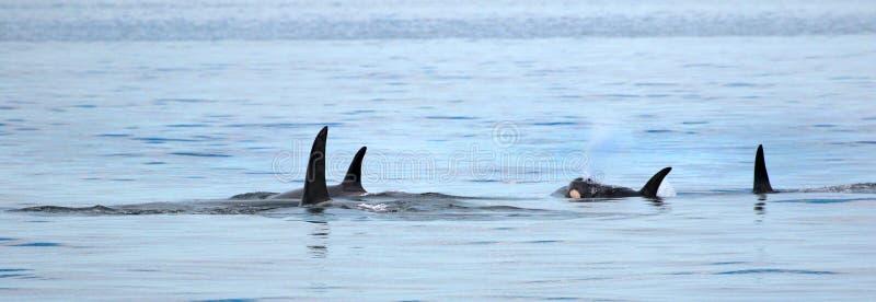 Стручок заплывания дельфин-касатки косатки, Виктория, Канада стоковое фото rf