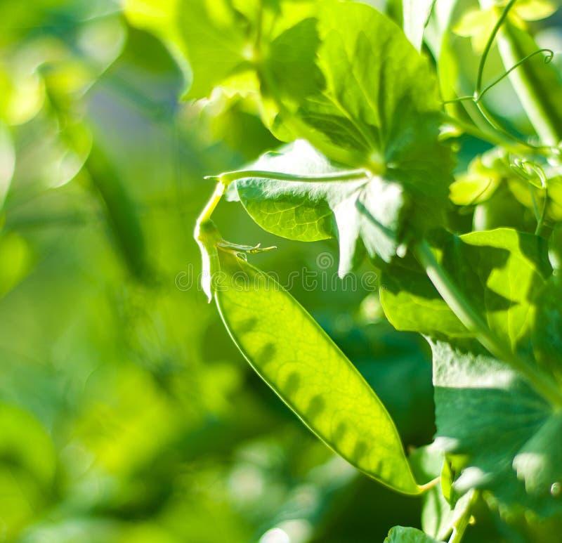 стручок зеленого гороха стоковые фото