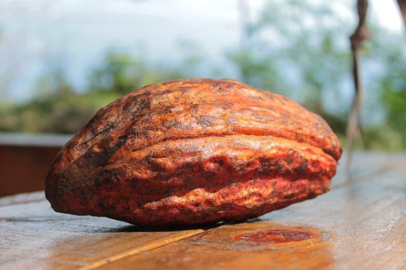 Стручок какао стоковые изображения rf
