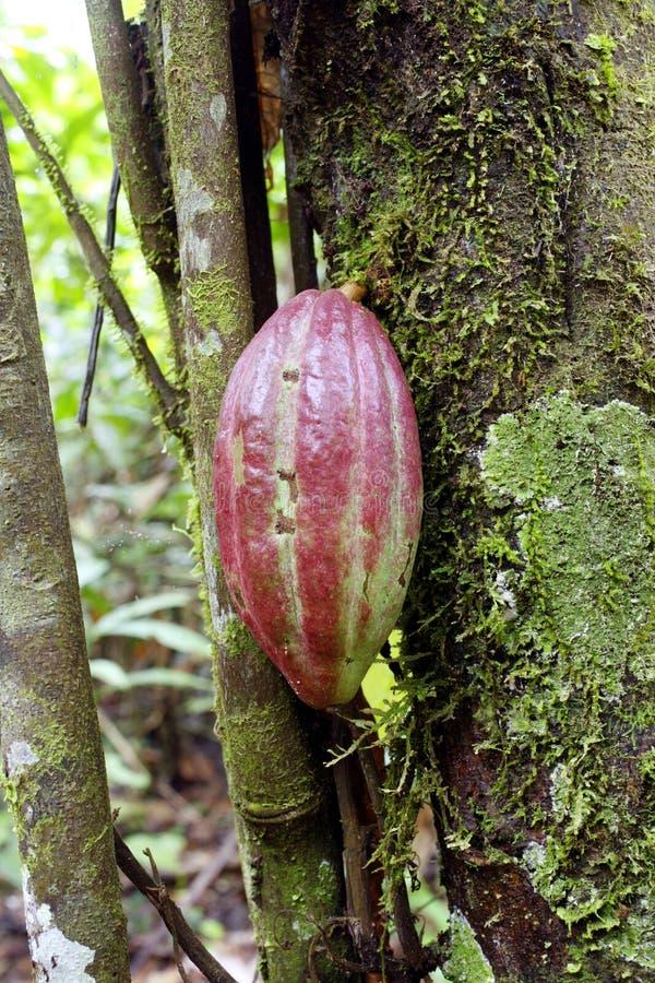 стручок какао стоковые фото