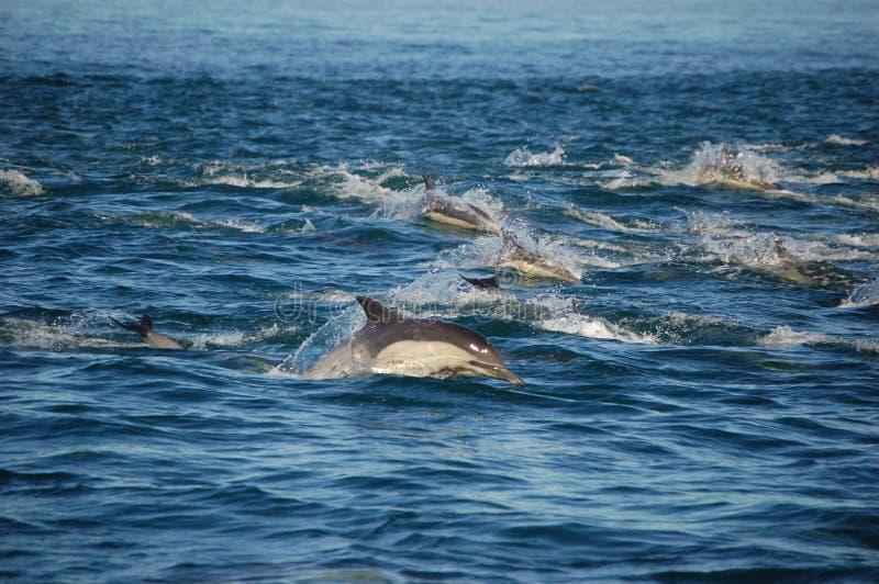стручок общих дельфинов стоковое изображение