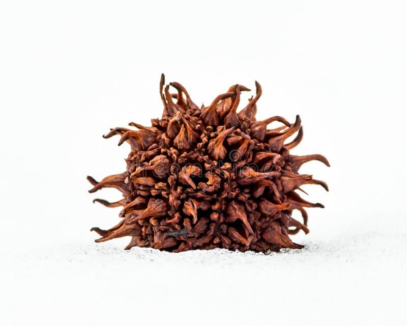Стручок семени сладостной камеди стоковая фотография