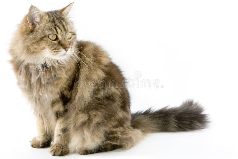 студия ragamuffin кота стоковые изображения