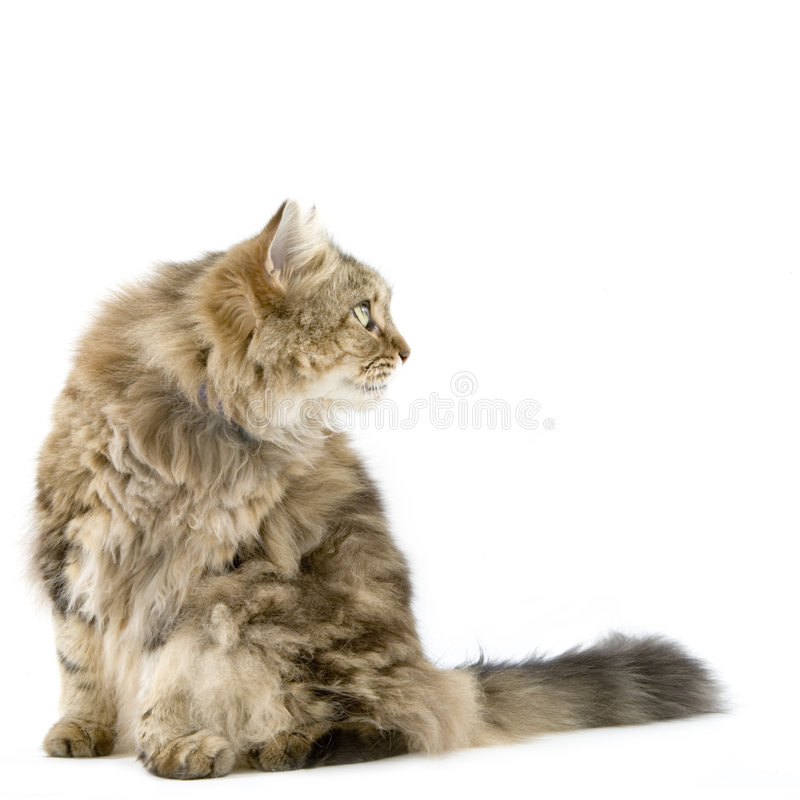 студия ragamuffin кота стоковое изображение