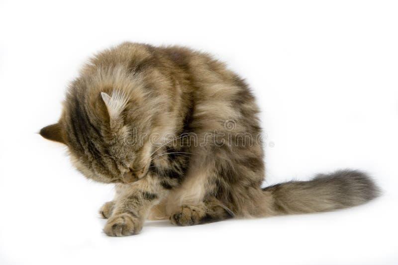 студия ragamuffin кота стоковая фотография