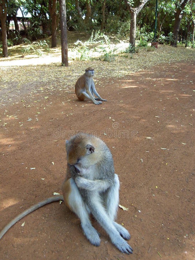 Стыдная обезьяна стоковое фото rf