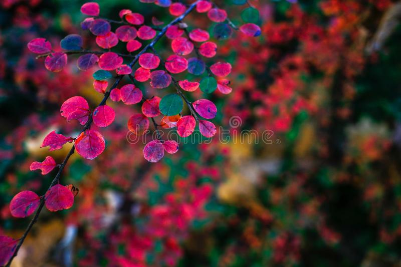 Суд предпосылки листьев осени красной стоковое изображение