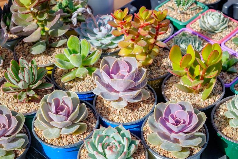 Суккулентные заводы в цветочных горшках стоковая фотография