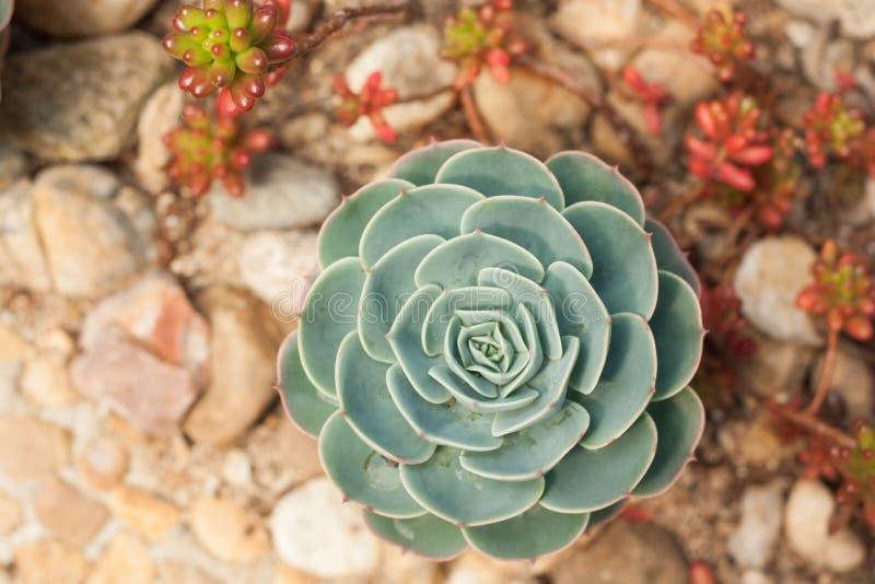 Суккулентный завод пустыни кактуса в саде стоковые изображения rf