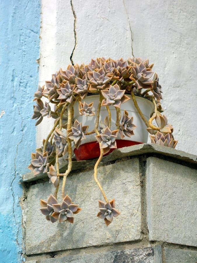 Суккулентный цветок в баке стоковая фотография rf