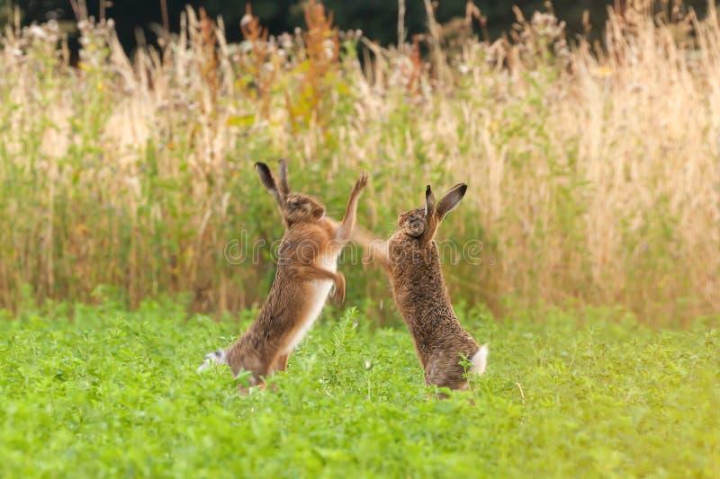 Сумашедшие одичалые зайцы кладя в коробку и воюя в Норфолке Великобритании стоковое изображение rf