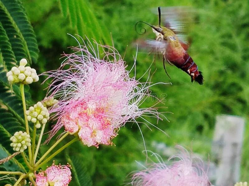 Сумеречница колибри и пушистый цветок стоковые фото