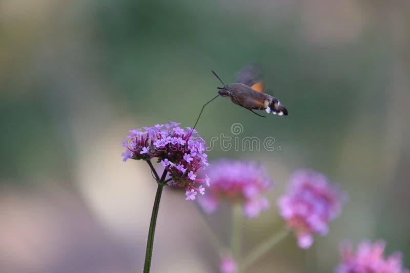 Сумеречница хоука колибри стоковые фото