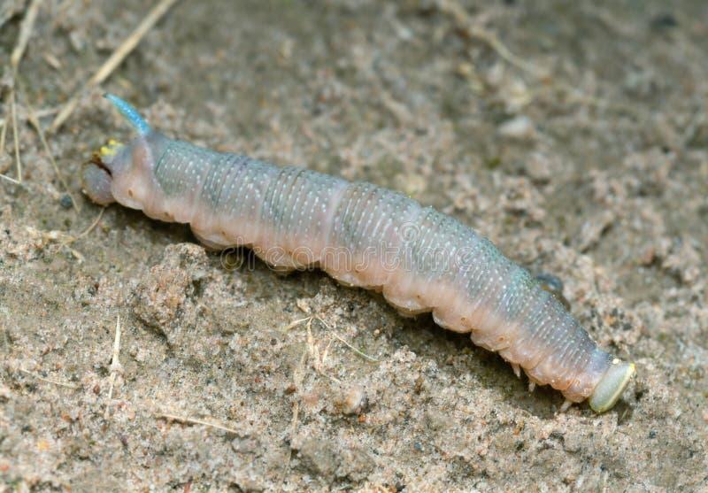 Сумеречница ястреба известки, личинка tiliae Mimas на земле стоковые фотографии rf