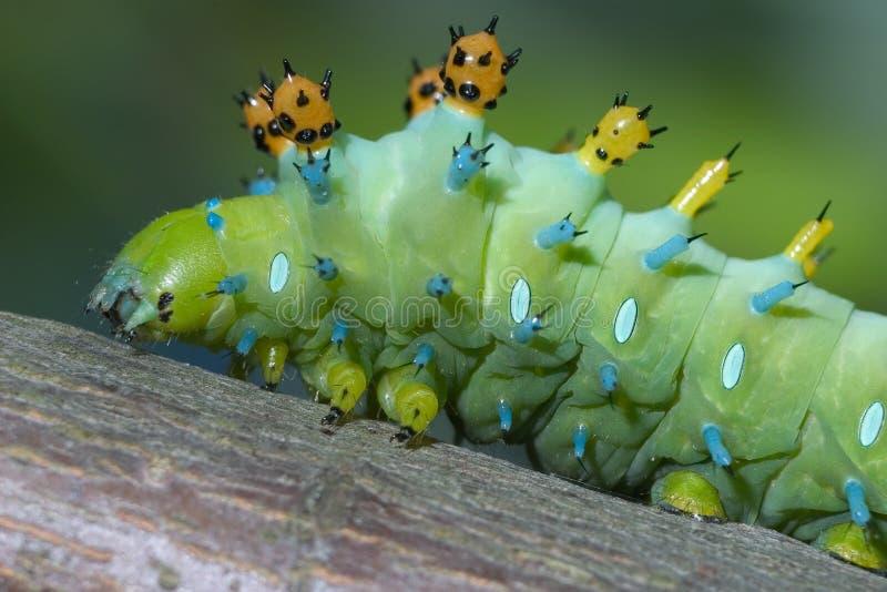 сумеречница cecropia гусеницы стоковая фотография