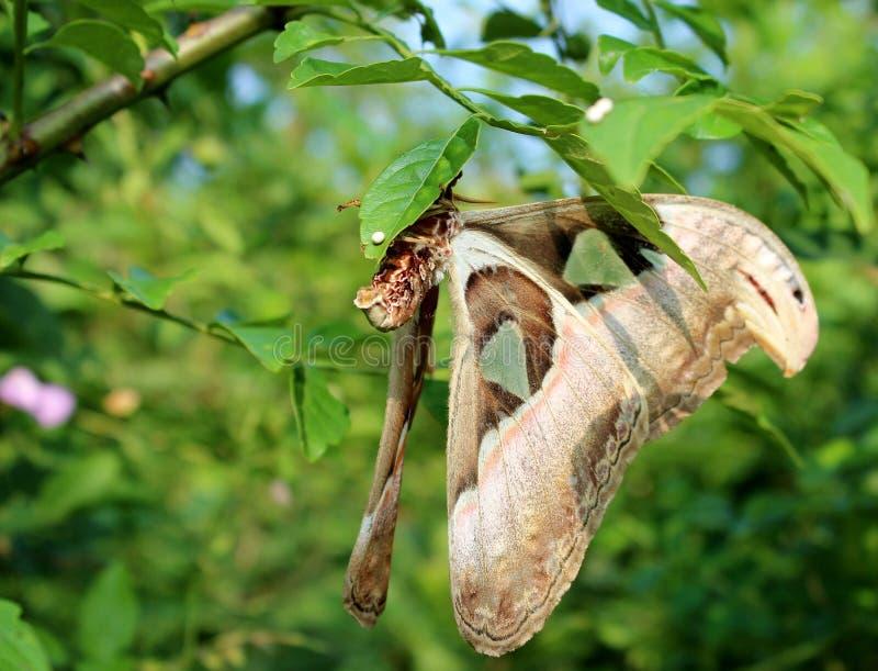 Сумеречница Cecropia. стоковые изображения rf