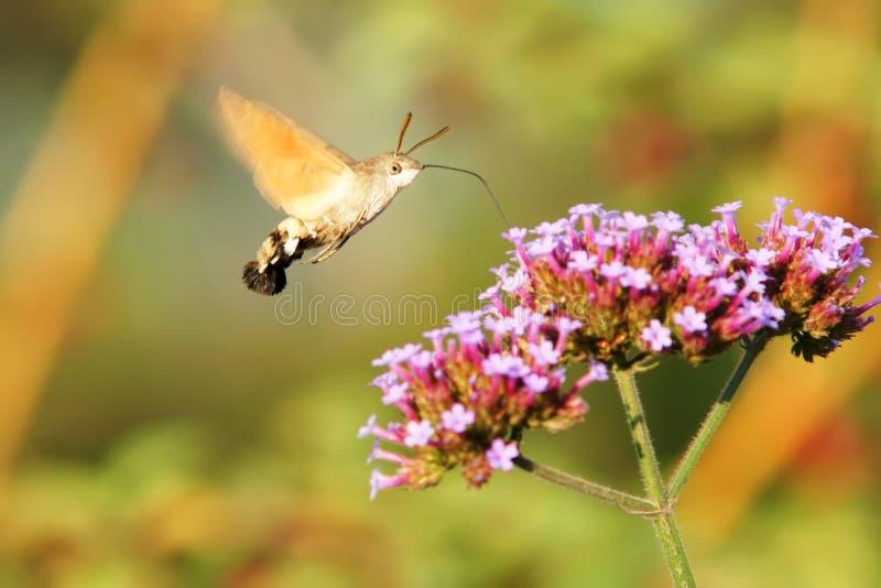 сумеречница hummingbird хоука стоковое изображение rf