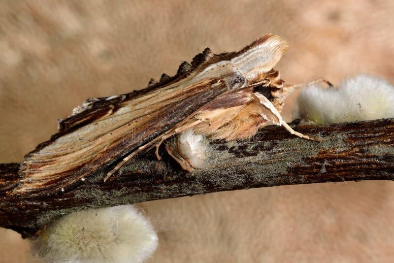 Сумеречница mullein (verbasci Cucullia) стоковое фото