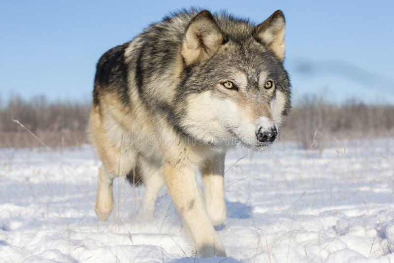 Супер близкое изображение волка тимберса в снеге стоковая фотография