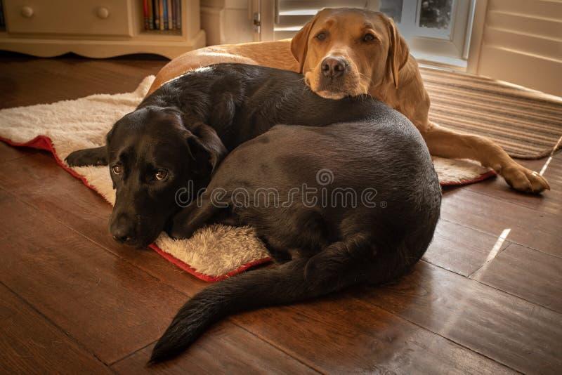 2 супер милых смотря labradors одного черного и одного желтого прижатого вверх совместно на кровати собаки стоковое изображение