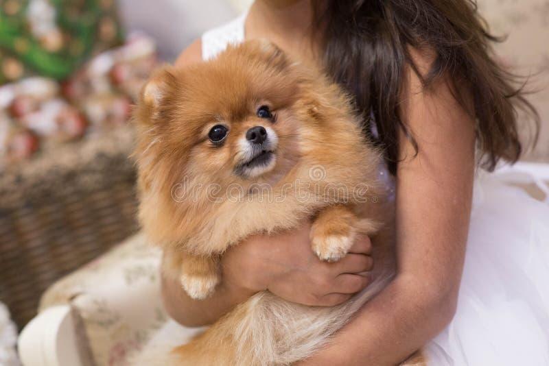 Супер шикарная собака породы Spiez стоковое изображение rf