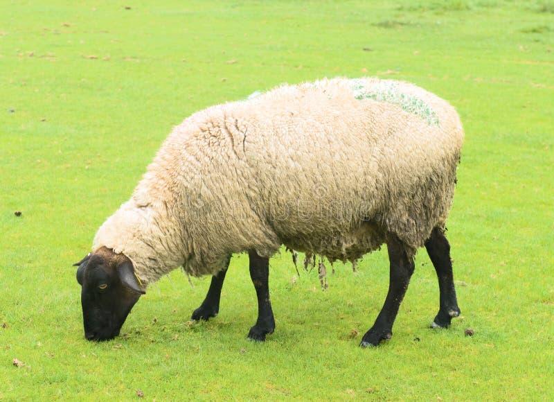 суффольк овец стоковые фото