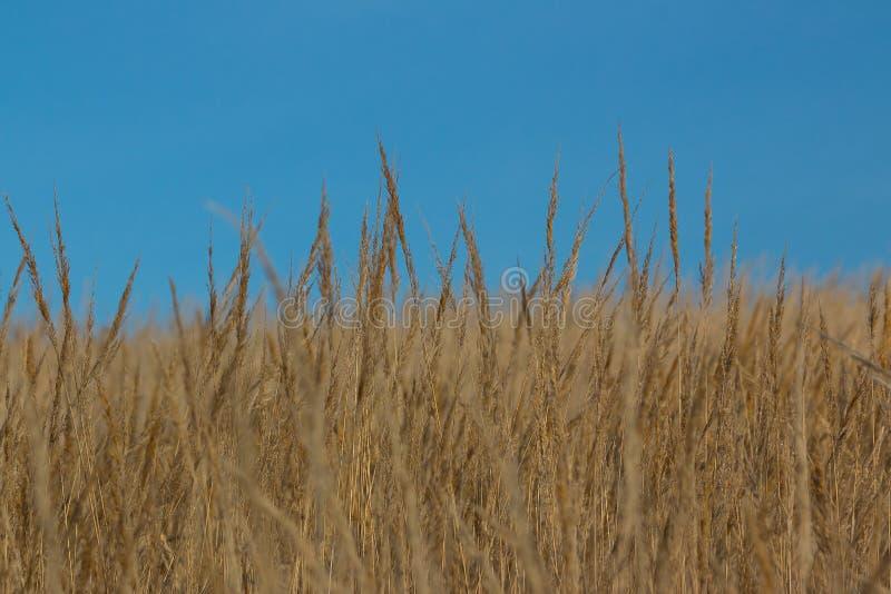 Сухая одичалая трава стоковое фото