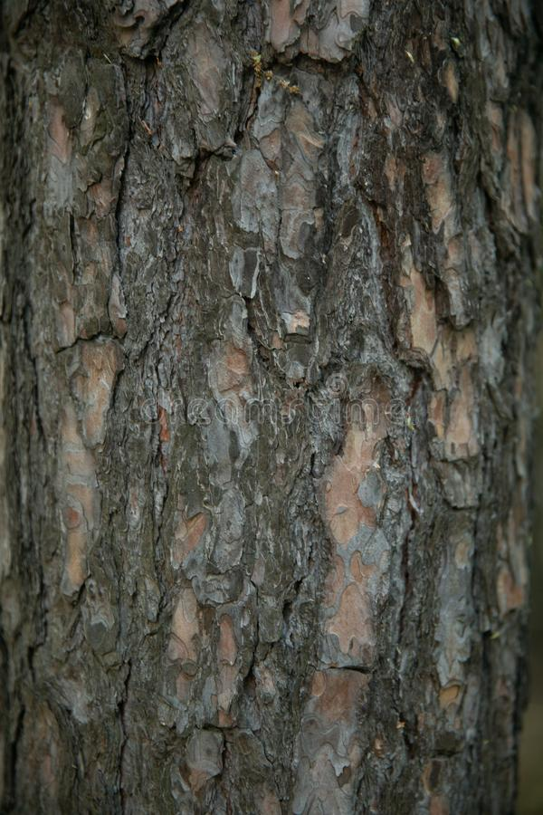 Сухая старая вертикаль коры дерева стоковые фотографии rf