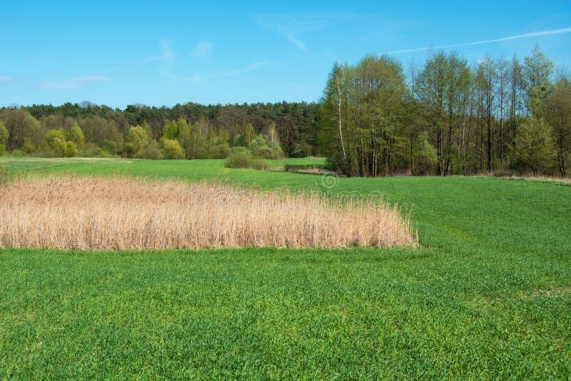 Сухая трава на зеленом поле, лесе и голубом небе стоковое изображение rf