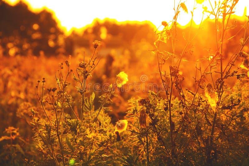 Сухая трава против захода солнца лета Оно тонизировано стоковое изображение