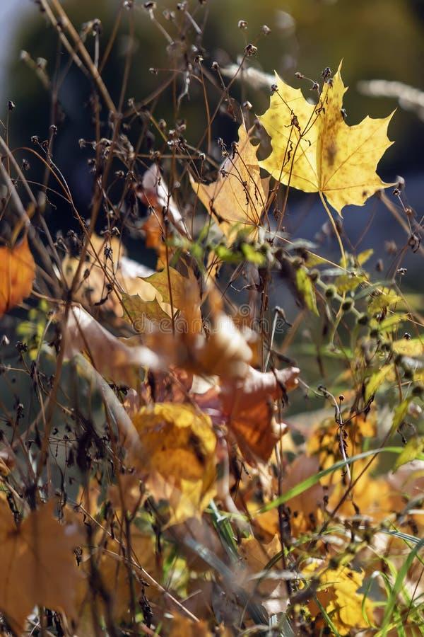 Сухая трава с яркой красочной листвой осени в лужайке Желтые, красные и оранжевые упаденные листья в сухой траве в солнечном стоковая фотография rf