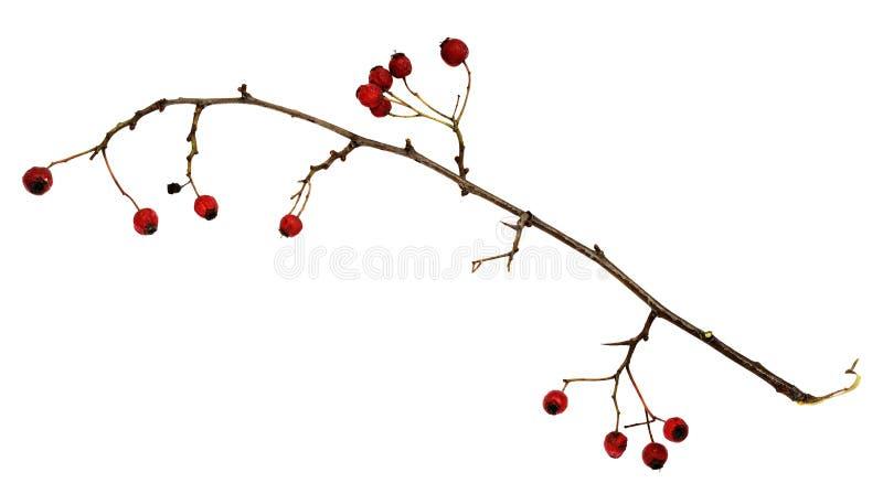 Сухая хворостина с ягодами стоковые фото