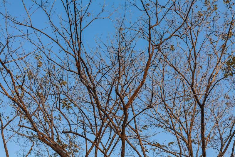 Сухие ветви дерева против голубого неба, мертвого дерева, деревьев на предпосылке голубого неба стоковые фото