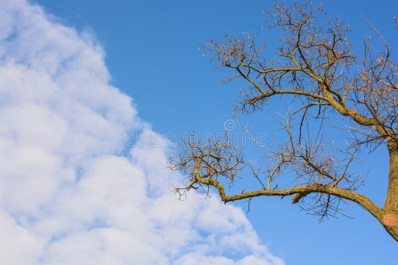 Сухие ветви дерева против голубого неба стоковое изображение rf