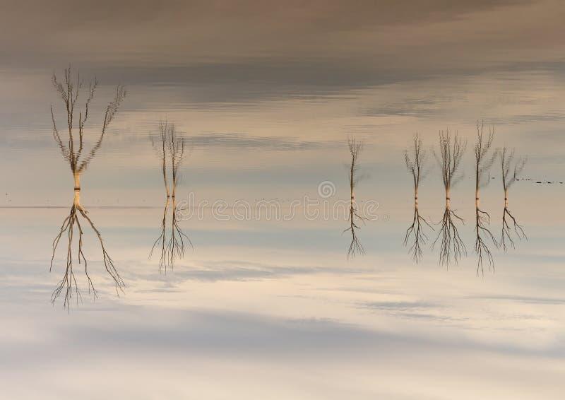 Сухие деревья погруженные в воду в озере стоковое изображение rf