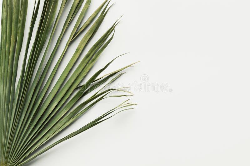 Сухие зеленоватые лист ладони на белой предпосылке Ботаническая тропическая тема лета Естественные материалы для внутреннего худо стоковое изображение rf