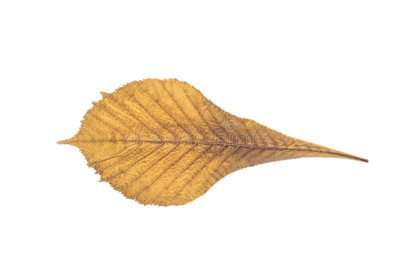 Сухие изолированные лист осени стоковая фотография