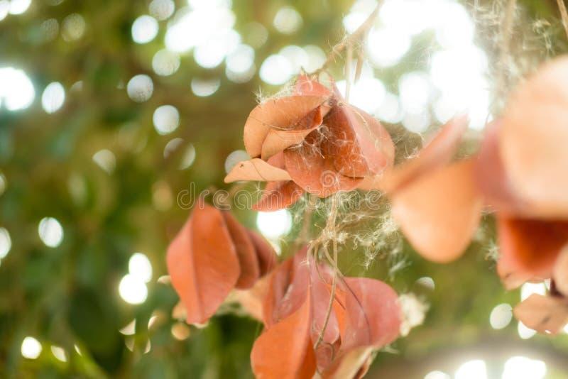 Сухие коричневые листья повешенные на ветвях деревьев стоковые фотографии rf