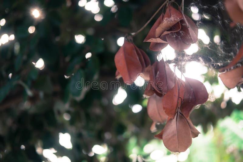 Сухие коричневые листья повешенные на ветвях деревьев стоковая фотография rf