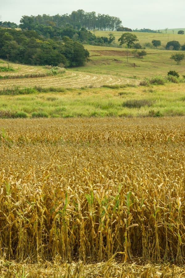 Сухие кукурузные поля стоковые изображения