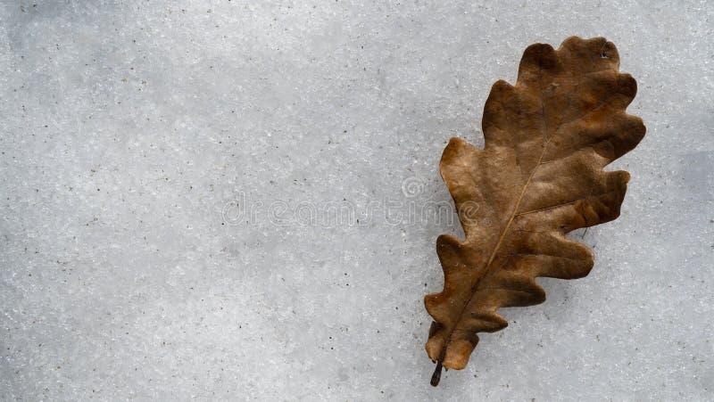 Сухие лист дуба в снеге стоковые изображения rf