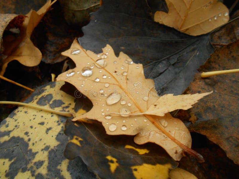 Сухие лист дуба с падениями стоковое фото