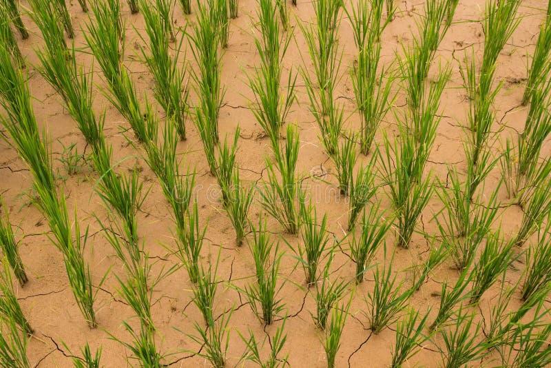 сухие неочищенные рисы стоковые фотографии rf
