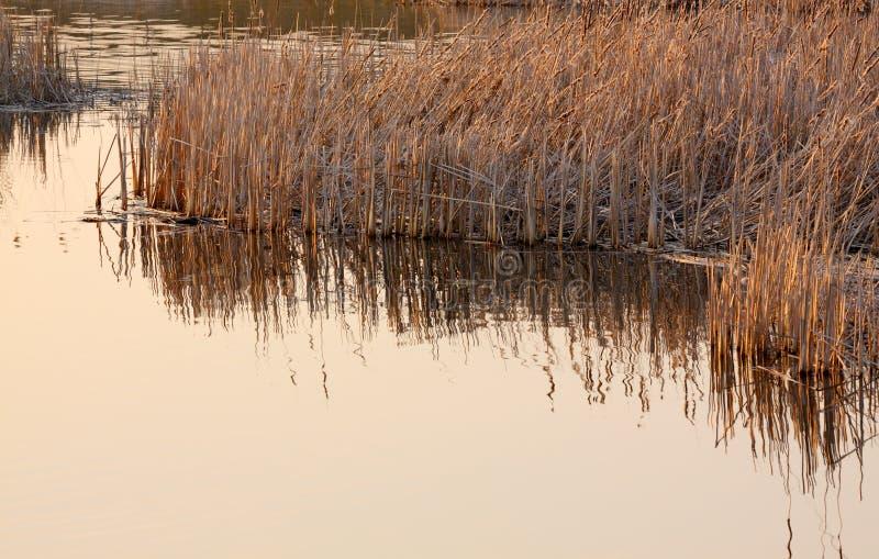 Сухие общие тростники в теплом солнечном свете стоковое фото