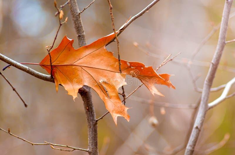 Сухие оранжевые лист дуба на ветви дерева в autumn_ стоковые изображения rf