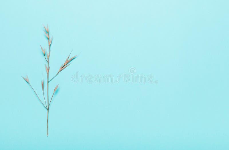 Сухие спикелеты, травы на синем фоне Вид сверху, плоский стоковые фото