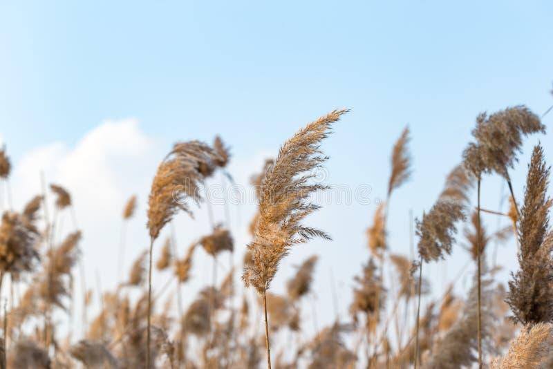 Сухие тростники в небе стоковые фото
