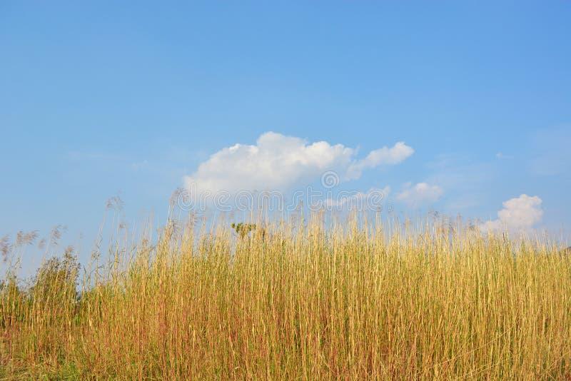 Сухие тростники в wintertime стоковая фотография rf