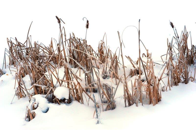 Сухие тростники на поле снега стоковые изображения rf