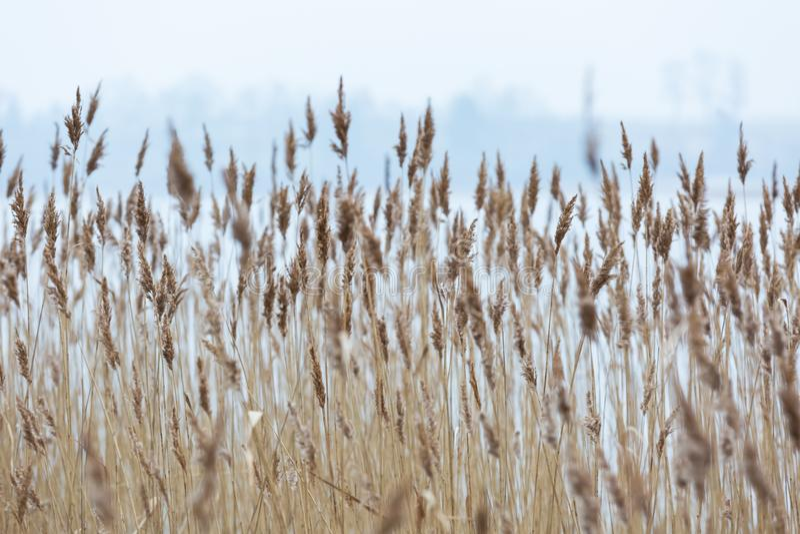 Сухие тростники приближают к озеру в wintertime стоковые фотографии rf